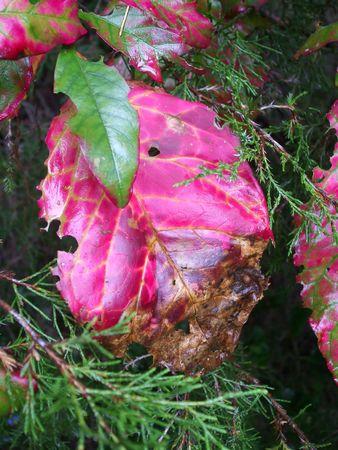 brilliantly: Brilliantly colored autumn leaf Stock Photo