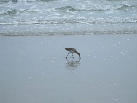 seabird: Small seabird wading in the waves