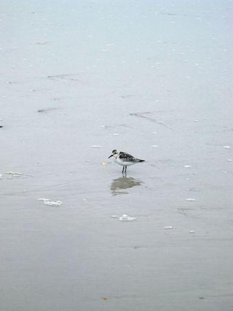 seabird: Small seabird reflected in wet sand
