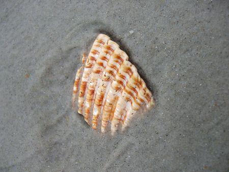 Striped brown seashell buried in the sand Zdjęcie Seryjne