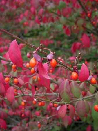 burning bush: Burning bush berries
