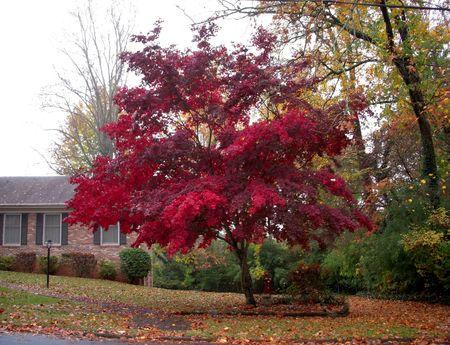 Scarlet maple in the fog