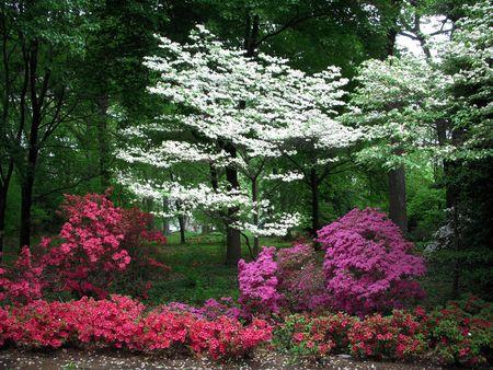Azaleas in bloom Stock Photo