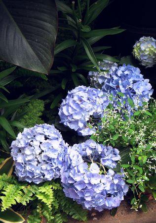 gardenia: Blue gardenia