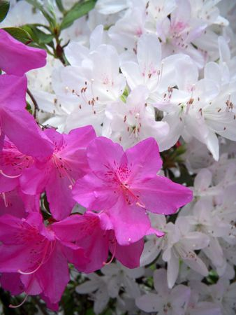 Closeup of white and pink azalea blossoms