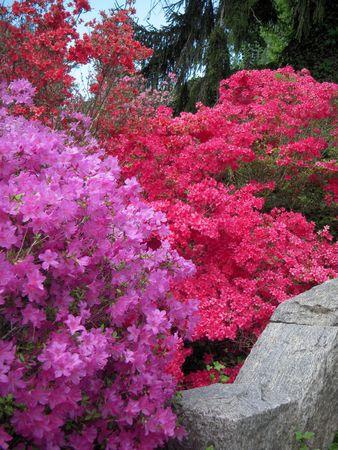 Lavendel en roze azalea's Stockfoto