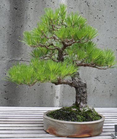Rbol de los bonsai Foto de archivo - 30358595