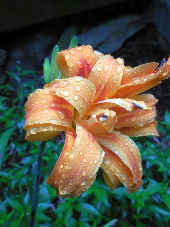 orange lily: Orange lily