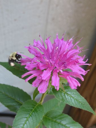 Bee balm flower with a bee