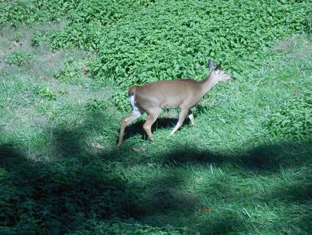 venado cola blanca: White-tail deer