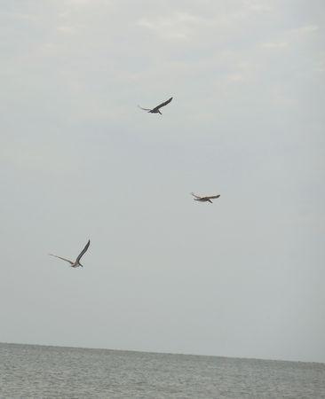 Sea birds hunting Stock Photo