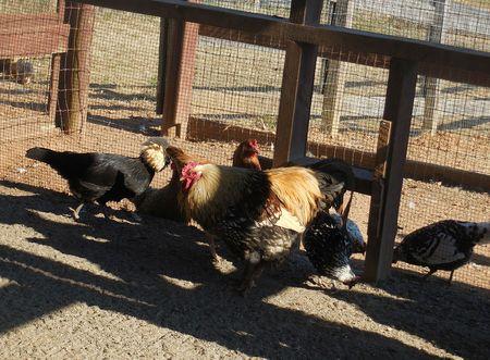 Chickens Stock Photo - 79242859
