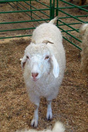 October 16, 2016 - Huntersville, NC - Sheep at the Renaissance Festival petting zoo Editorial