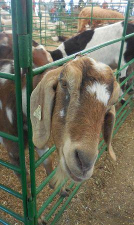 October 16, 2016 - Huntersville, NC - Goat at the Renaissance Festival petting zoo Stock Photo - 78727529