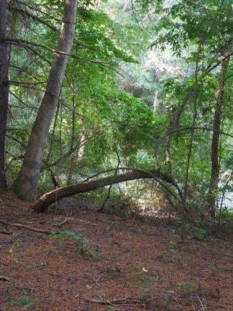 Arching tree