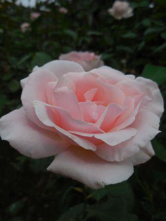 Pink rose Stock Photo - 88607233