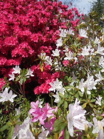 Azalea Stock Photo - 91616952