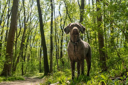 A brown spanish water dog with summer hair cut standing in the middle of the Prater dog park forest in Vienna
