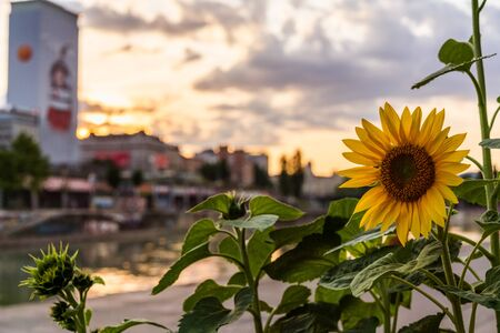 A bright sunflower from a urban garden during a summer sunset at the Danube canal in Vienna