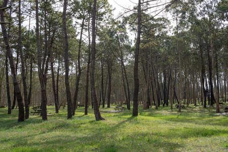 Recreation area with eucaliptus and pine trees at Rodiles, Asturias, Spain