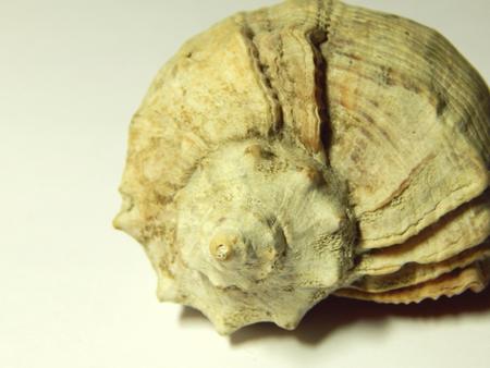 lustre: Seashell isolated on white Stock Photo