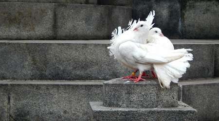 Two beautiful white doves sitting on a rock next to each other photo