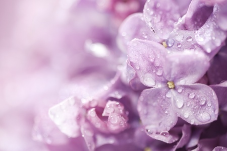 Beautiful lilac flowers close-up background  photo