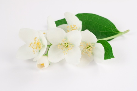 Jasmine flowers on white background