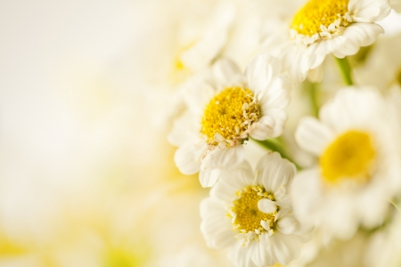 Beautiful daisies flowers close-up background Stock Photo - 14842372