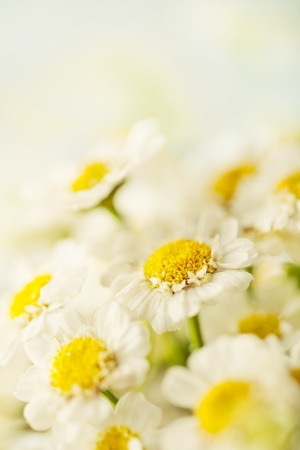 Beautiful daisies flowers close-up background Stock Photo - 14842380