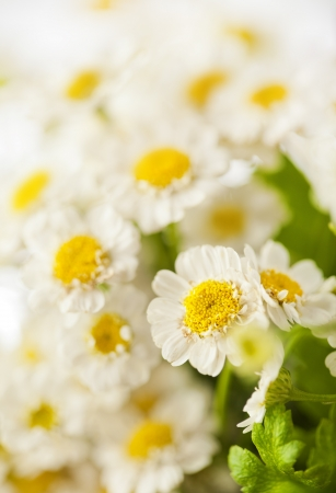 Beautiful daisies flowers close-up background Stock Photo - 14842385
