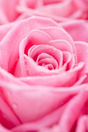 Close-up beautiful pink rose with water drops Stock Photo - 14953871