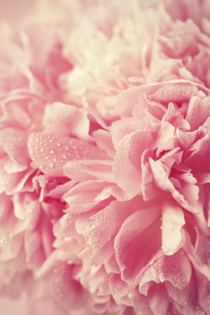 peony: Abstract pink wedding flower background Stock Photo