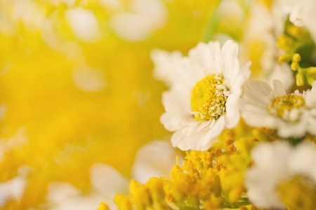 Beautiful yellow flower chamomile background Stock Photo - 18151049