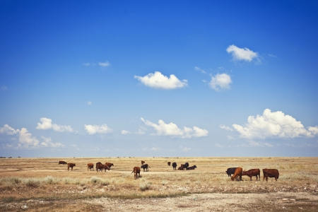 Cows in a meadow under blue sky photo