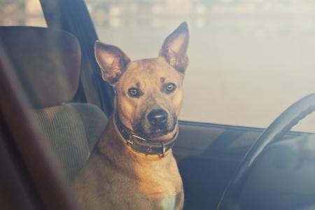 tete chien: Seul chien attend dans la voiture