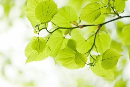 Fresh green linden leaves outdoors