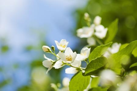 tree jasmine: Beautiful fresh jasmine flowers in the garden, macro photography