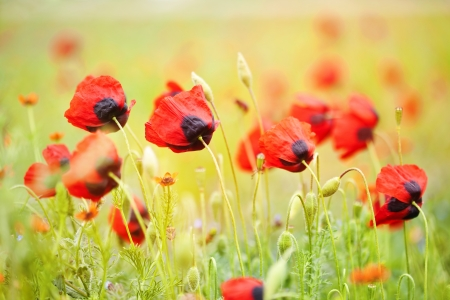 Field of red poppies and green grass