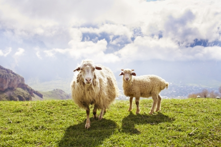 Sheep on green meadow in the mountains
