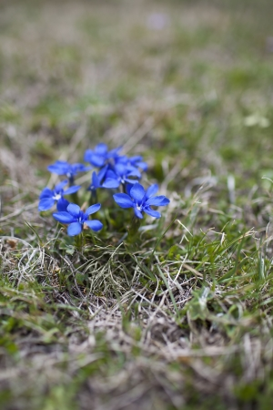 Spring gentian or gentiana verna, endangered species.  photo
