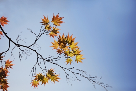 Autumn vivid maple leaves against blue sky Stock Photo - 21085710