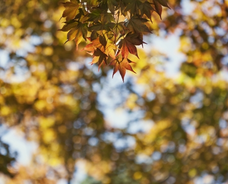 Yellow autumn maple leaves background Stock Photo - 21085711