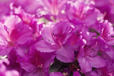 Pink azalea flowers in the garden Stock Photo - 21085773