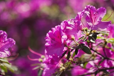 Pink azalea flowers in the garden Stock Photo - 21085718