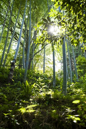 Bamboo forest in the spring Stock Photo - 21085776