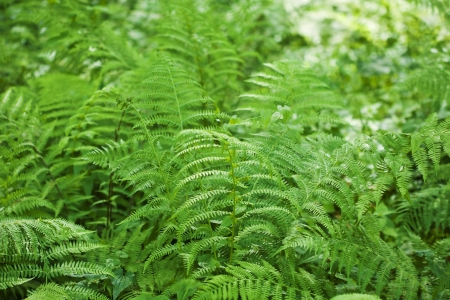 ornamental bush: Fresh green fern leaves background