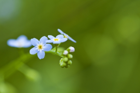 Forget-me-not blue flowers in the field Stock Photo - 21085791