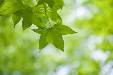 Fresh green leaves of maple Stock Photo - 21085857