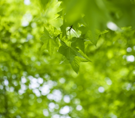 Fresh green leaves of maple  Stock Photo - 21085858